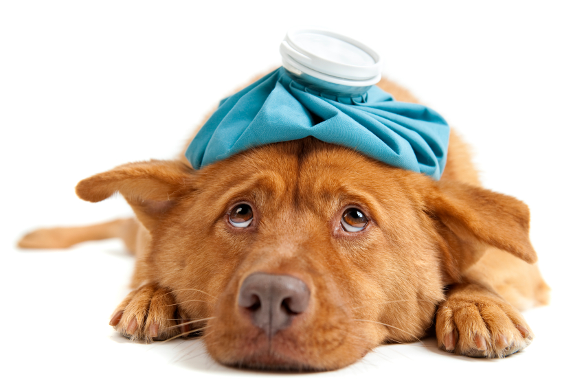How to treat yeast infections in your dog's ears