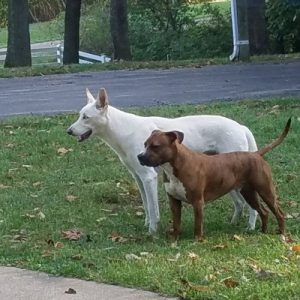 White German Shepherd and American Bullie
